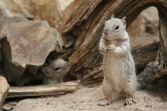 Rock Squirrel - Tucson, Arizona Royalty Free Stock Photos