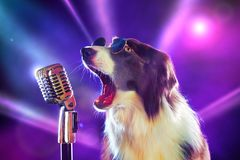 Rock star border collie dog singing. Into a microphone stock photos