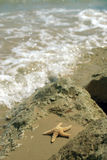 Rock Starfish. A starfish on a rock on a sandy beach stock photography