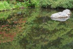 Rock in a water pond. A gray rock in a still water pond or edge of lake with reflections of green trees and other foliage such as bushes and leaves floating on stock image