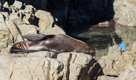 Rock Sunbathing Seal Royalty Free Stock Photo