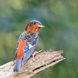 Rock-Thrush Stock Images