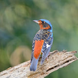 Rock-Thrush Royalty Free Stock Images