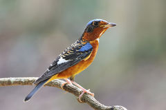 Rock Thrush Stock Images