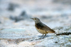 Rock thrush, Monticola saxatilis Stock Photos