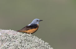 Rock thrush, Monticola saxatilis Royalty Free Stock Photo