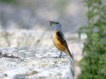 Rock thrush, Monticola saxatilis Royalty Free Stock Image