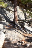 Rock Tree. Tree growning in solid rock Stock Photos