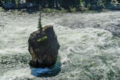 Rock with a tree in the middle of the Yellowstone River royalty free stock photography