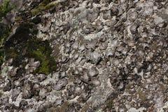 Rock tripe lichen Stock Photo