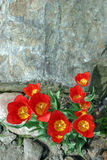 Rock and tulips. Red tulips on stone background Royalty Free Stock Photography