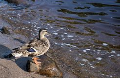 Rock Under Duck. A female Mallard duck standing on a rock overlooking a river Stock Image