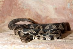 Rock Viper Royalty Free Stock Images