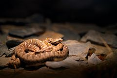 Rock viper, Montivipera xanthina, Ottoman coastal viper in nature habitat. Wildlife scene from nature. Snake at rocky mountain hab. Itat royalty free stock image