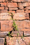 Rock wall with creeper Stock Photography
