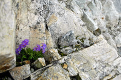 Rock wall flower. Beautiful flowers growing in a rock crack Royalty Free Stock Images