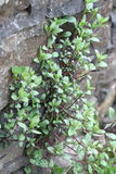 Rock Wall Plant. Plant growing out of rock wall royalty free stock images