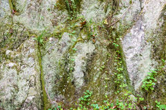 Rock wall. With some vine and moss Royalty Free Stock Photo