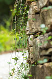 Rock wall with vines Stock Photos