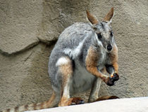 Rock Wallaby. Australian Rock Wallaby Sitting on Cliff Stock Image
