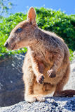 Rock Wallaby. Standing on a rock Stock Images