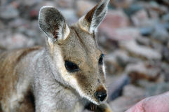 Rock Wallaby. Stock Photo