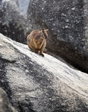 Rock wallaby. A wallaby sitting on a granite boulder Royalty Free Stock Photography
