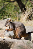 Rock wallaby Stock Photos