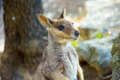 Rock wallaby, baby kangaroo stock photos