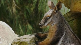 Rock wallaby. Close up of a rock wallaby resting in the shade stock video