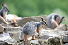Rock Wallaby Royalty Free Stock Photos