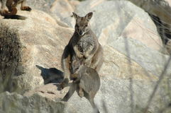 Rock Wallaby Stock Images