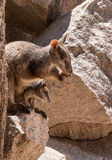 Rock wallaby with joey in pouch. Mother and baby rock wallaby on rocks Royalty Free Stock Images