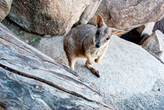 Rock wallaby, Magnetic Island, Australia. Rock wallaby standing on a rock, Magnetic Island, Australia Stock Images