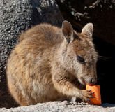 Rock wallaby, Magnetic Island, Australia Royalty Free Stock Images