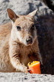 Rock wallaby, Magnetic Island, Australia Royalty Free Stock Image