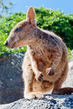 Rock wallaby, Magnetic Island, Australia Royalty Free Stock Photography