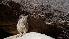 Rock wallaby, Magnetic Island, Australia Stock Photos