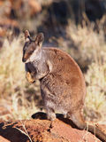 Rock Wallaby, Petrogale, watching out Stock Image