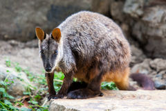 Rock Wallaby Stock Photography