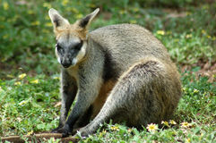 Rock Wallaby Sitting Stock Images