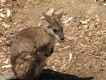 Rock Wallaby Sitting Up Stock Images