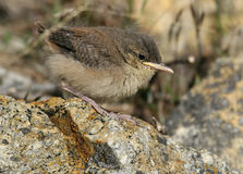Rock Wren. A baby Rock Wren, just out of the nest Stock Photography