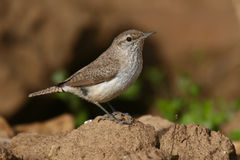 Rock wren. Perched on a rock Stock Photo