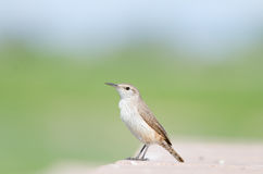 Rock Wren Stock Image