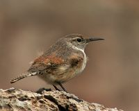 Rock Wren fluffing Royalty Free Stock Photos