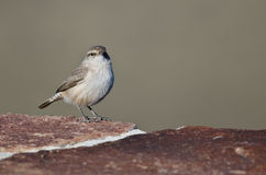 Rock Wren Making Eye Contact While Resting on Brick Wall Stock Photo