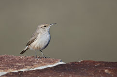 Rock Wren Resting on a Red Brick Wall Royalty Free Stock Image