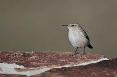 Rock Wren Resting on a Red Brick Wall Royalty Free Stock Photography