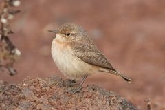 Rock Wren Salpinctes obsoletus Royalty Free Stock Photography